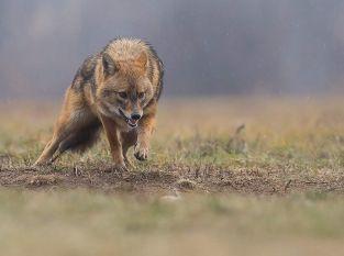 Wolf, Fuchs und Goldschakal